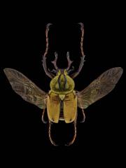 Dicronocephalus-wallichii-wallichii-Hope-1831