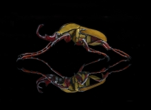 raindeer beetle [Dicranocephalus wallichii]