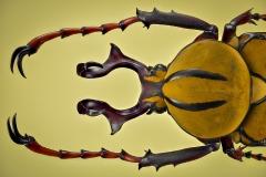 reindeer beetle [Dicranocephalus wallichii]-3
