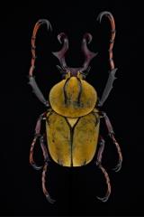 reindeer beetle [Dicranocephalus wallichii]-5
