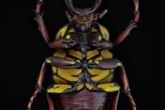 reindeer beetle [Dicranocephalus wallichii]-6