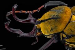 reindeer beetle [Dicranocephalus wallichii]-7