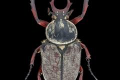 Dicronocephalus adamsii - Korea-2