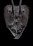 Dinomyrmex gigas - Southeast Asia
