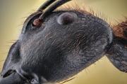 Dinomyrmex gigas - Southeast Asia10