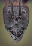 Dinomyrmex gigas - Southeast Asia12