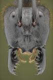 Dinomyrmex gigas - Southeast Asia14