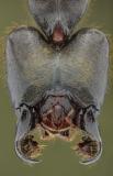 Dinomyrmex gigas - Southeast Asia15