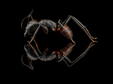 Dinomyrmex gigas - Southeast Asia18