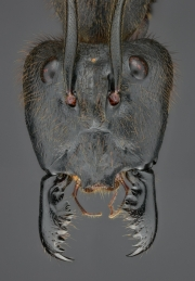 Dinomyrmex gigas - Southeast Asia21