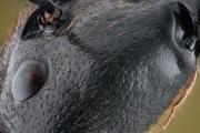 Dinomyrmex gigas - Southeast Asia3