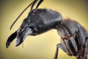 Dinomyrmex gigas - Southeast Asia5