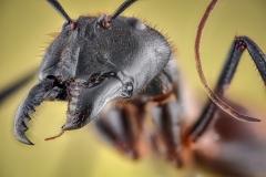 Dinomyrmex gigas - Southeast Asia7