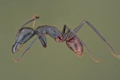 Dinomyrmex gigas - Southeast Asia13