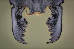 Dinomyrmex gigas - Southeast Asia19