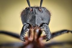 Dinomyrmex gigas - Southeast Asia4