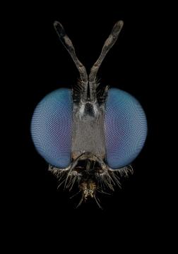 Dioctria-atricapilla-UK