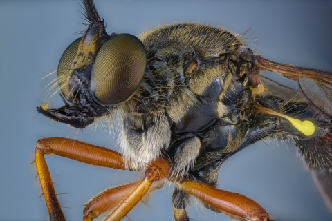 common red-legged robberfly - [Dioctria rufipes]