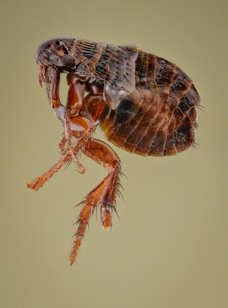 dog-flea-Ctenocephalides-canis-Romania-9