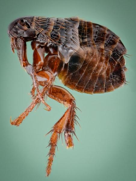 dog flea [Ctenocephalides canis] - Romania1