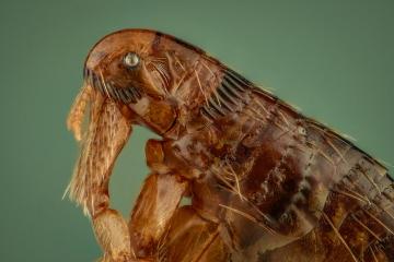 dog flea [Ctenocephalides canis] - Romania10