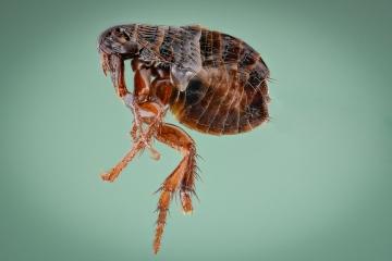 dog flea [Ctenocephalides canis] - Romania2