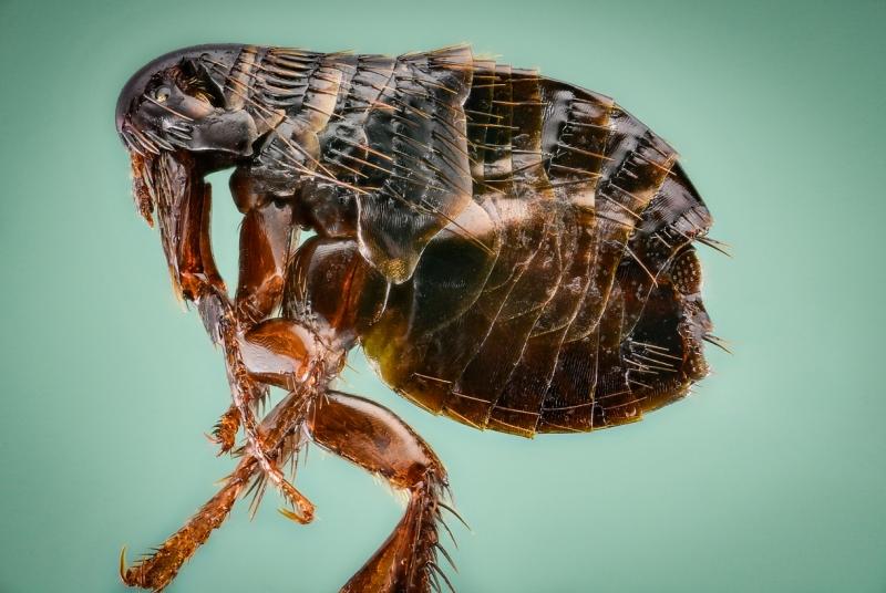 dog flea [Ctenocephalides canis] - Romania3