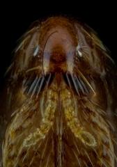 dog flea [Ctenocephalides canis] - Romania6