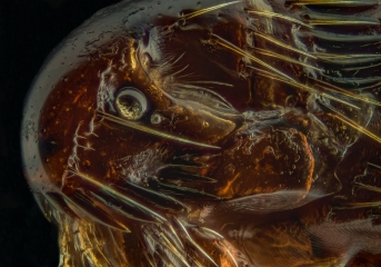 dog flea [Ctenocephalides canis] - Romania7