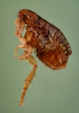 dog flea [Ctenocephalides canis] - Romania9