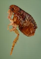 dog flea [Ctenocephalides canis] - Romania9