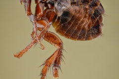 dog-flea-Ctenocephalides-canis-Romania-9