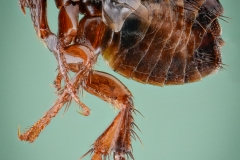 dog flea [Ctenocephalides canis] - Romania1
