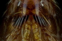 dog flea [Ctenocephalides canis] - Romania6