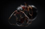 Dolichoderus quadripunctatus - Germany-2