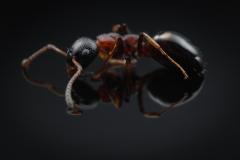 Dolichoderus quadripunctatus - Germany-3