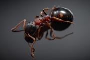 Dolichoderus quadripunctatus - Germany-7