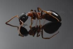 Dolichoderus quadripunctatus - Germany-4