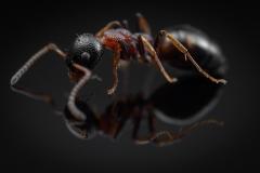 Dolichoderus quadripunctatus - Germany