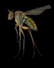 1_long-legged-fly-Dolichopus-popularis-UK-2