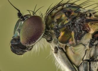 long legged fly [Dolichopus popularis] UK-2