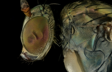 long-legged-fly-Dolichopus-popularis-UK-4