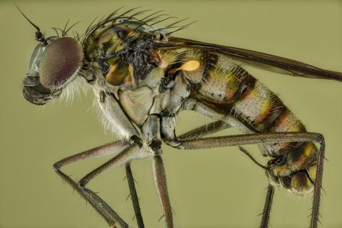 long legged fly [Dolichopus popularis] UK