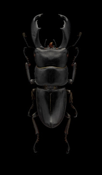 giant-stag-beetle-Dorcus-titanus-typhon-Japan-3