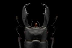 giant-stag-beetle-Dorcus-titanus-typhon-Japan-3