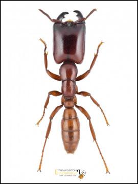 Dorylus-cf.-savagei-Emery-1895-Gabon