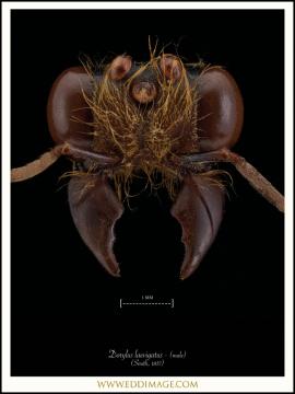 Dorylus-laevigatus-male-Smith-1857