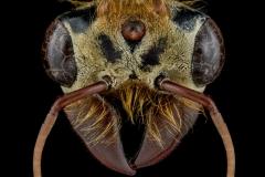 Dorylus-male-Ivory-Coast