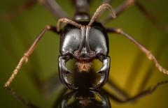 Dorylus mayri - Ivory Coast-10