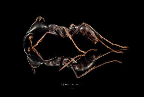 Dorylus mayri - Ivory Coast-4